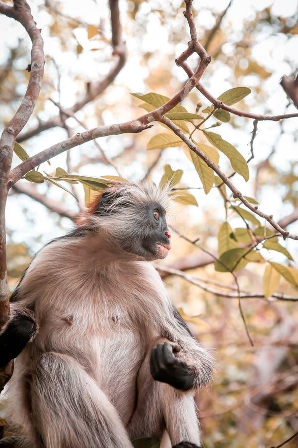 Macacos no habitat natural na tarde das árvores primatas fotos de stock royalty free