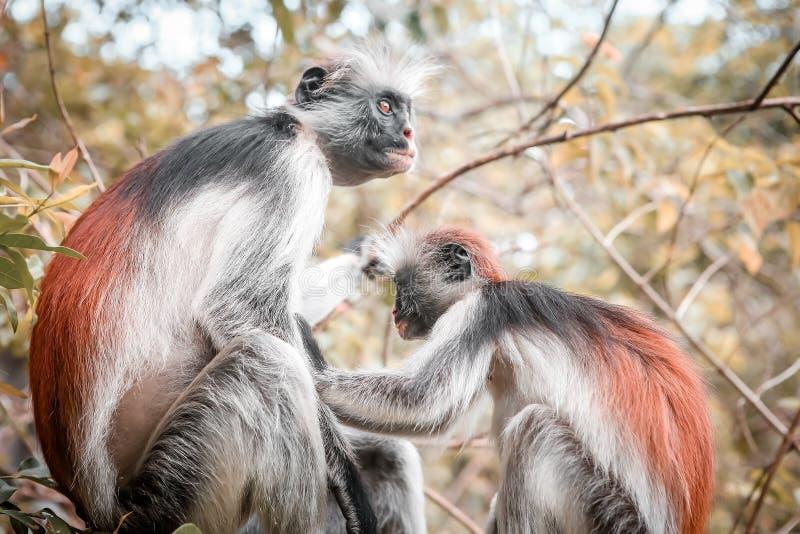 Macacos no habitat natural na tarde das árvores primatas imagens de stock royalty free