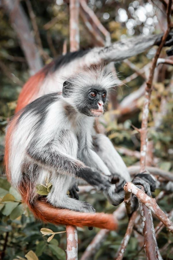 Macacos no habitat natural na tarde das árvores primatas imagem de stock