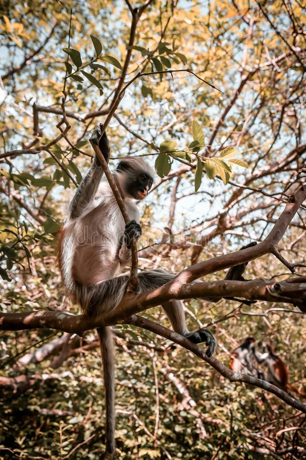 Macacos no habitat natural na tarde das árvores primatas imagens de stock