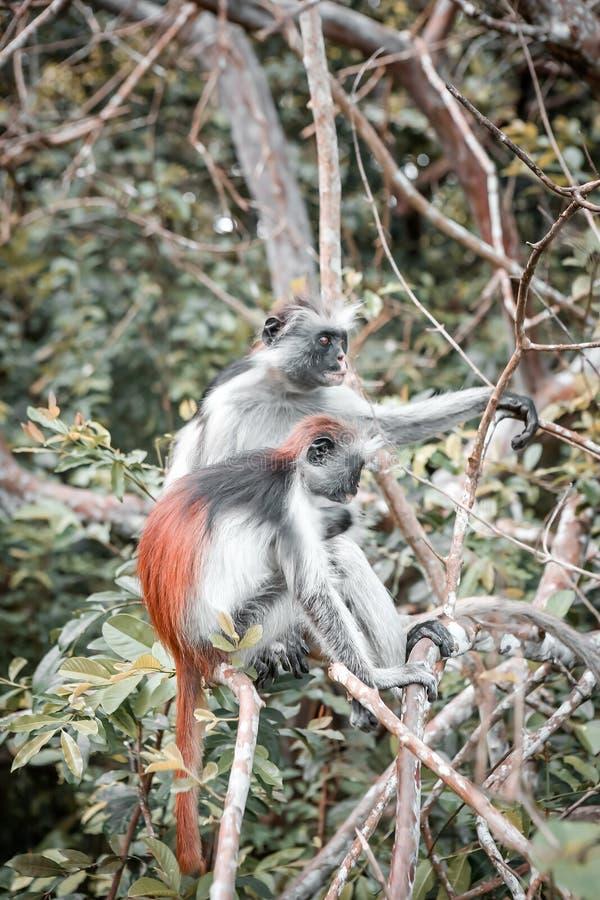 Macacos no habitat natural na tarde das árvores primatas fotos de stock