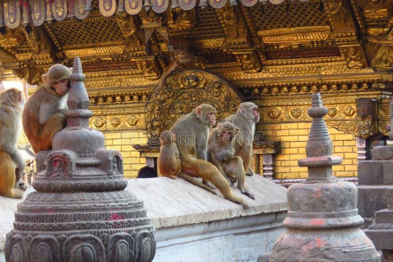 Macacos no stupa de Swaymbhunath, aka no templo do macaco, Kathmandu, Nepal fotos de stock royalty free