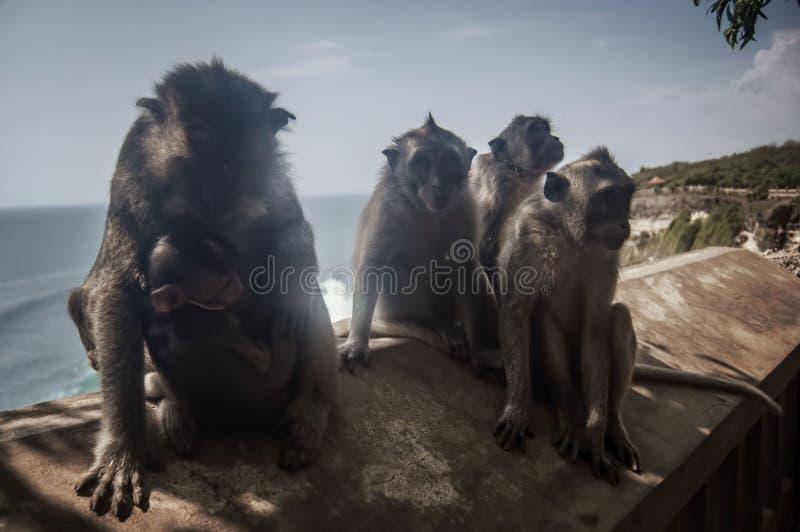 Macacos no templo de Uluwatu imagens de stock royalty free