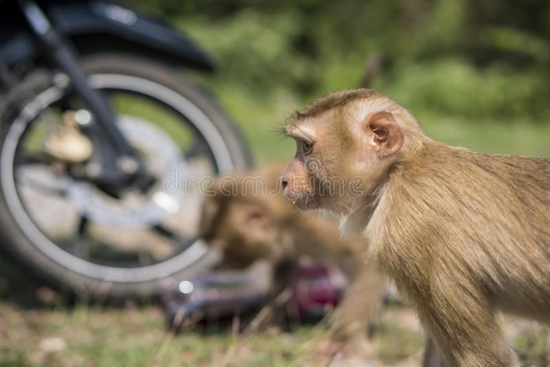 Macacos ou estola do macaque e água doce bebendo de uma garrafa plástica no parque nacional de Khao Yai, Tailândia foto de stock