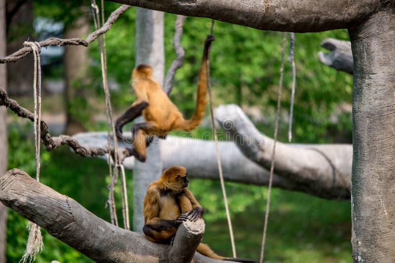 Macacos, primatas de balanço imagem de stock royalty free