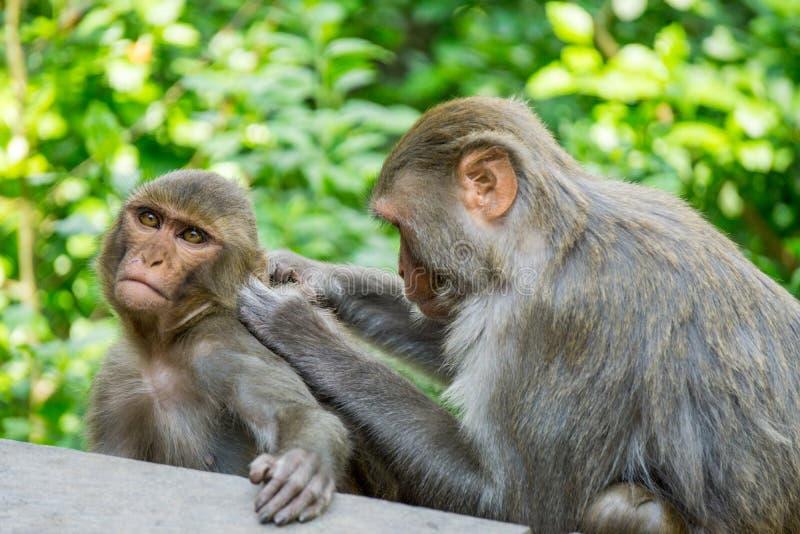 Macacos que importam-se dse fotos de stock royalty free