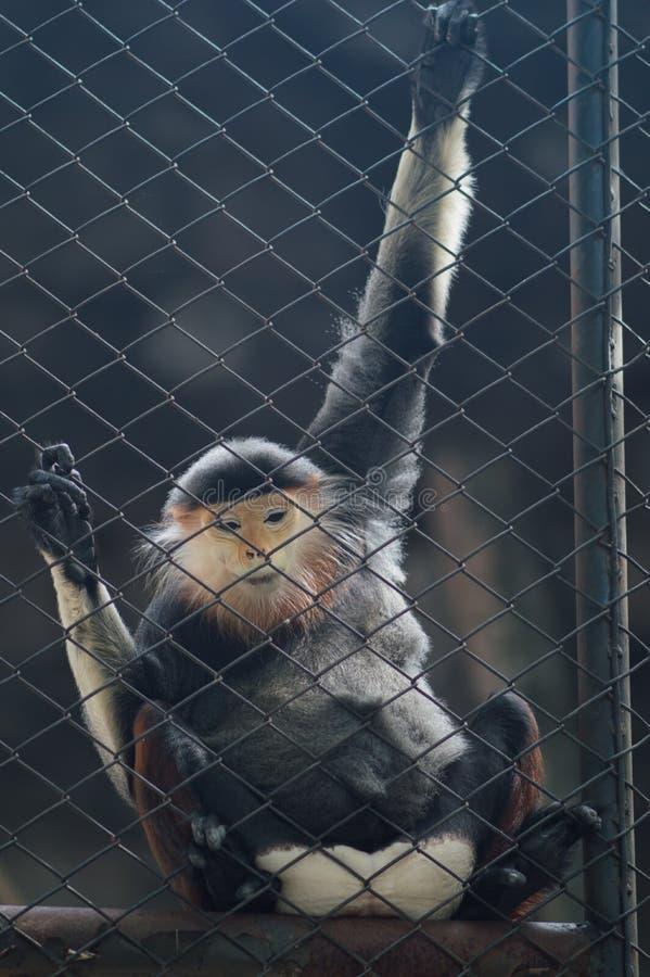 Macacos que sentam-se em uma gaiola Jardim zoológico do nacional de Tailândia fotografia de stock royalty free