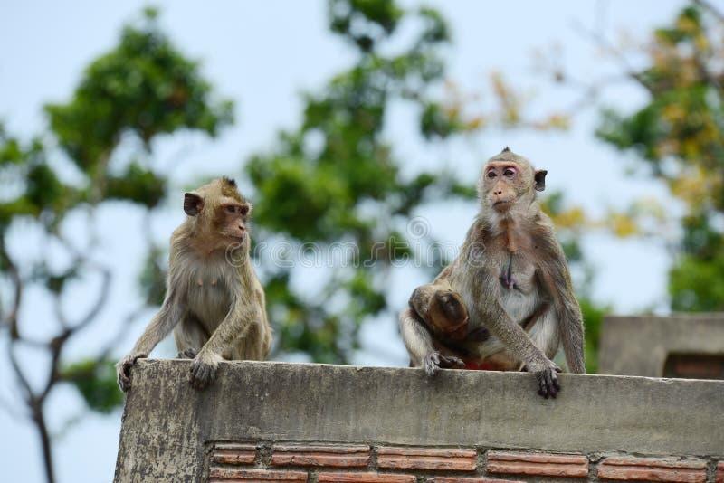 Macacos que vivem nas montanhas imagens de stock royalty free