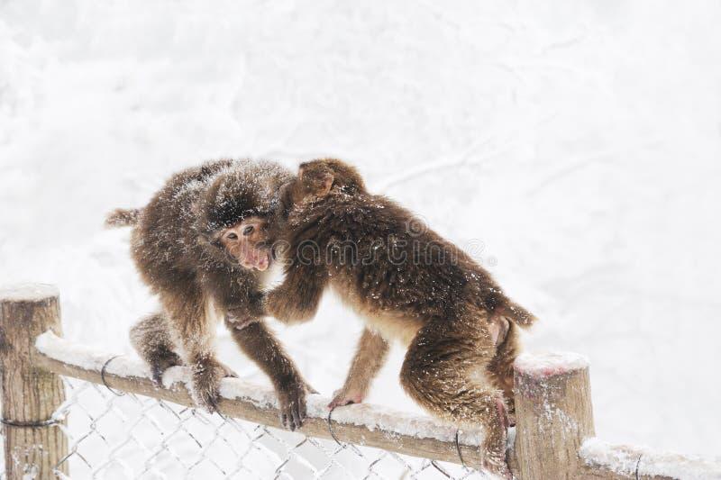 Macacos selvagens no inverno imagens de stock royalty free