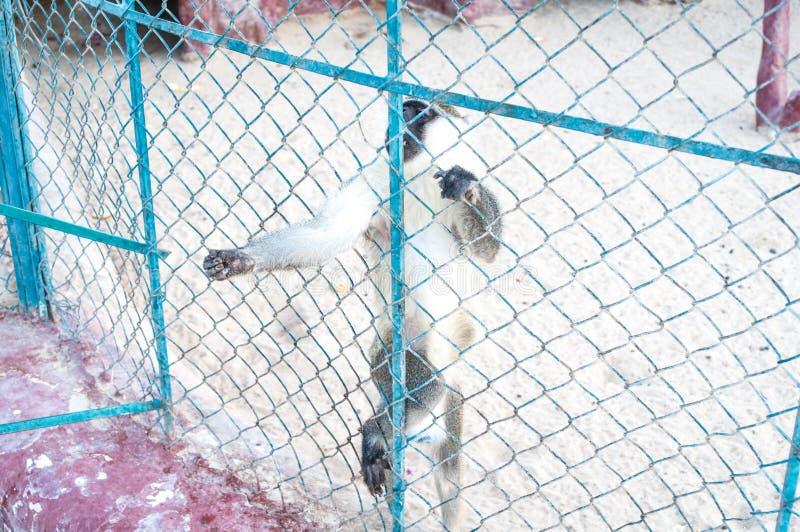 Macacos tristes na gaiola do jardim zoológico Imagem do vintage de dois macacos que olha abatido no um jardim zoológico do estilo fotografia de stock royalty free
