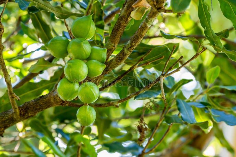 Macadamia καρύδια στο δέντρο στοκ εικόνα