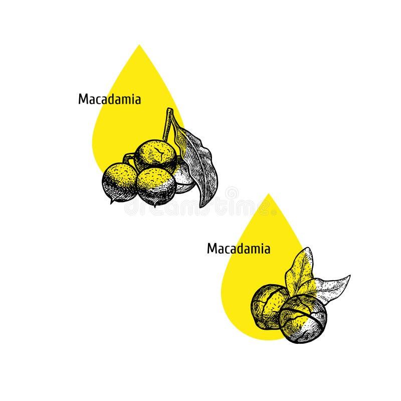 Macadamia σύνολο εικονιδίων πετρελαίου Συρμένο χέρι σκίτσο Εκχύλισμα των εγκαταστάσεων επίσης corel σύρετε το διάνυσμα απεικόνιση διανυσματική απεικόνιση