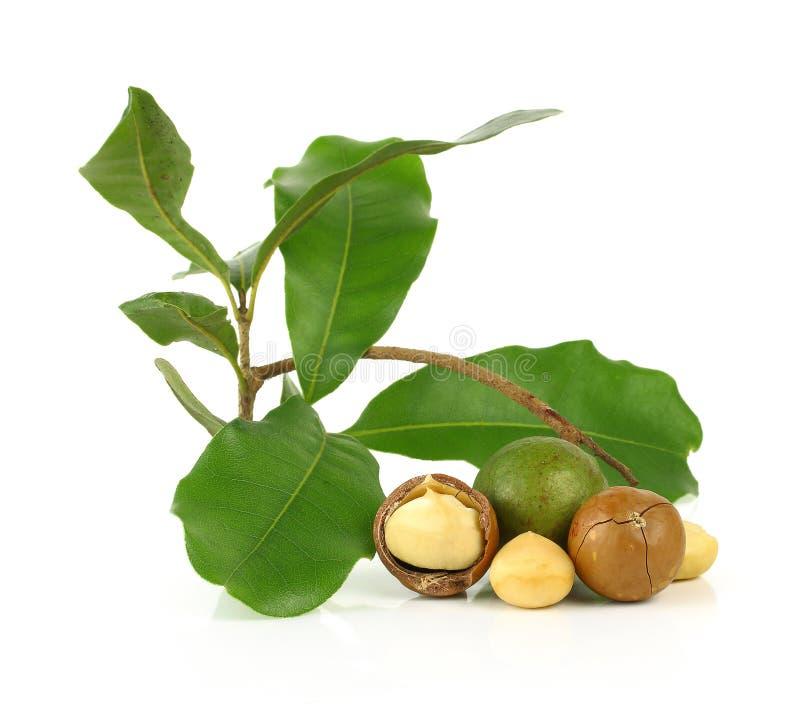 Macadamia dokrętki na białym tle obraz stock