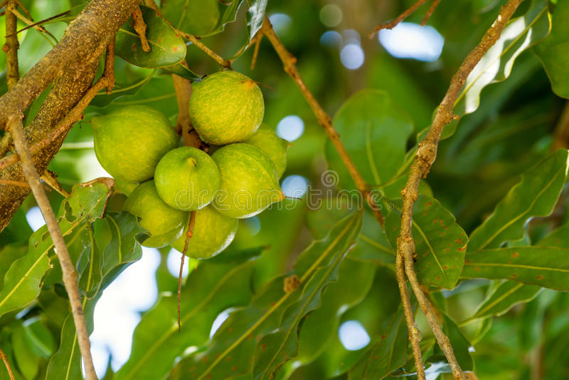 Macadamia dokrętki na drzewie zdjęcia stock