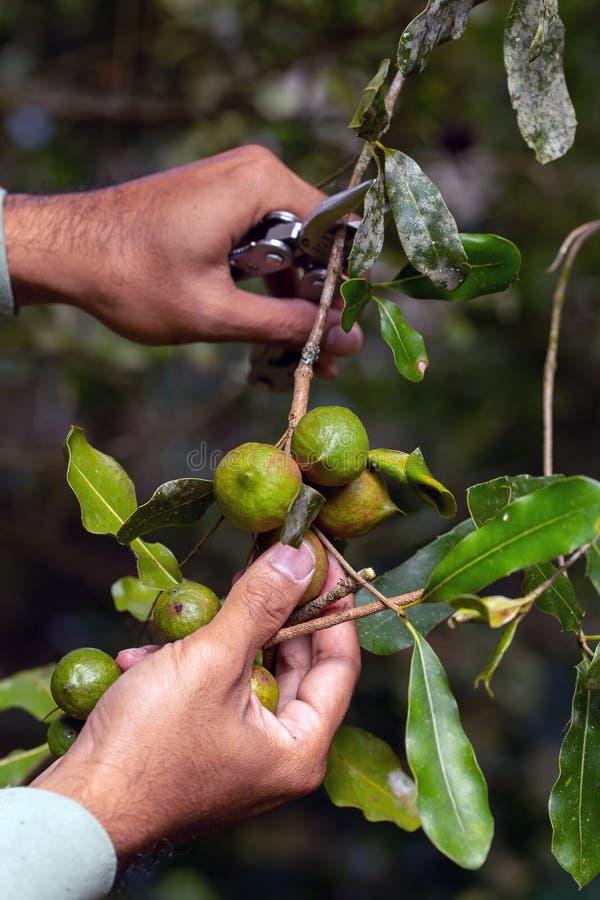 Macadamia dokrętki na wiecznozielonym drzewie, macadamia plantacja - drogie grube dokrętki zdjęcia royalty free
