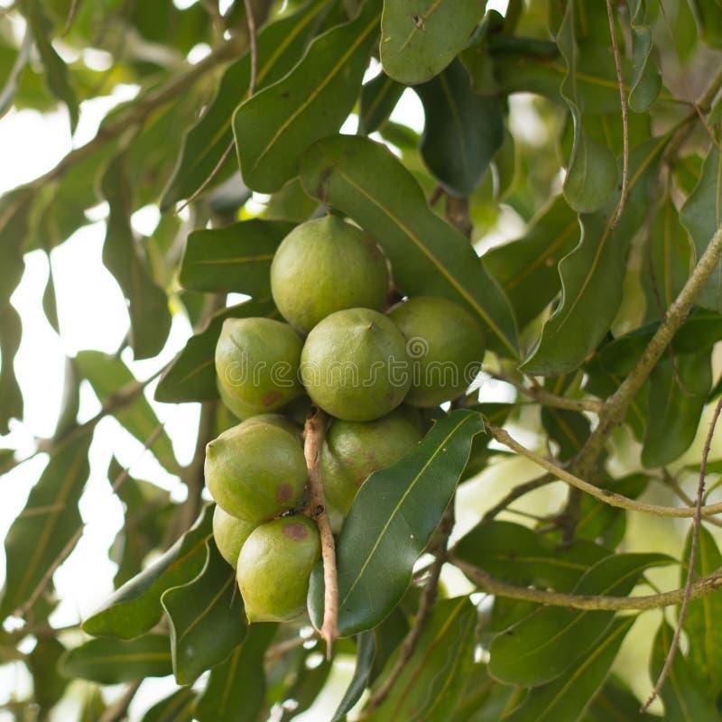 Macadamia dokrętki wiesza na drzewie zdjęcie royalty free