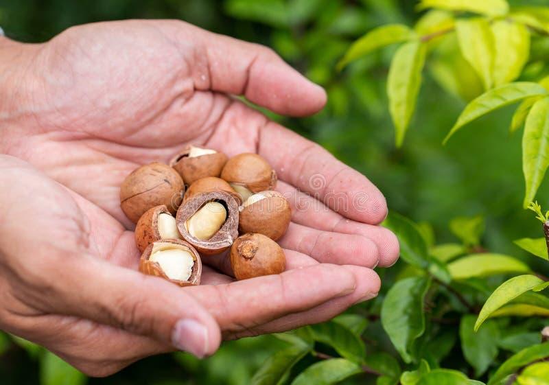 Macadamia na ręce obrazy royalty free