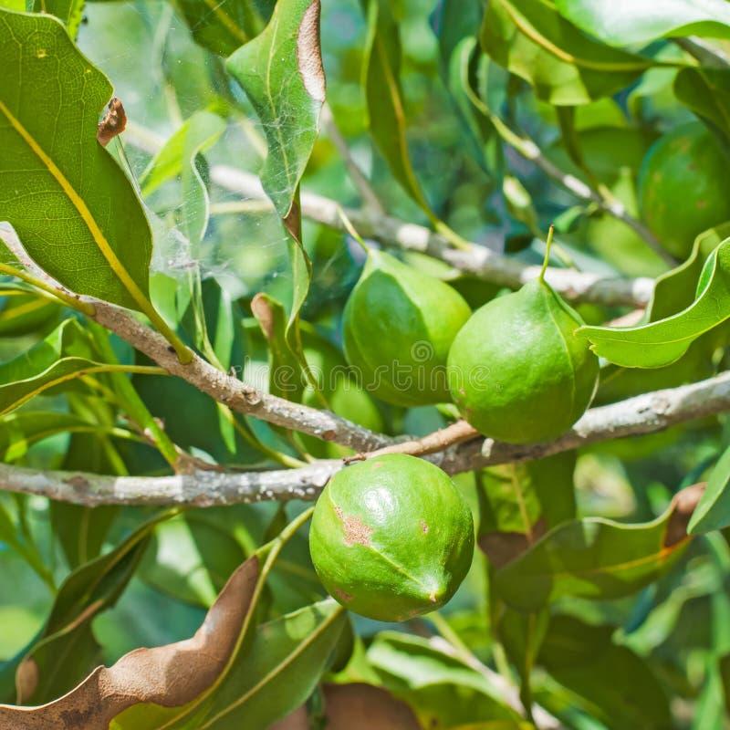 macadamia noten het hangen royalty-vrije stock afbeeldingen