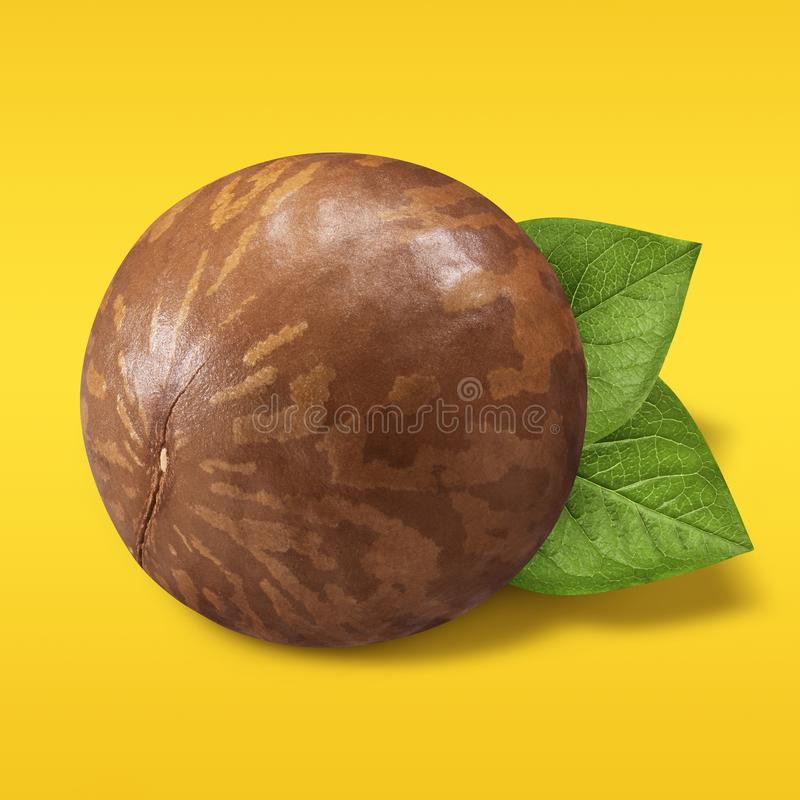 Macadamia nut unpeeled on pastel yellow and orange background. Closeup one macadamia nut in shell with green leaves as. Package design element. Organic nuts royalty free stock photography