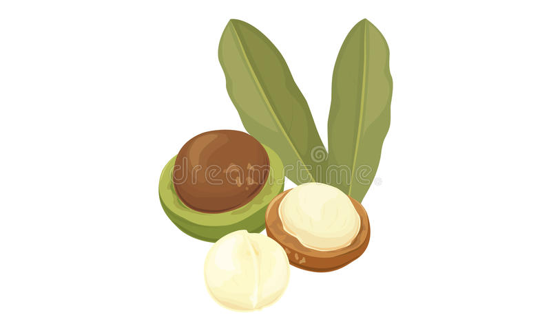 Macadamia nuts vector illustration