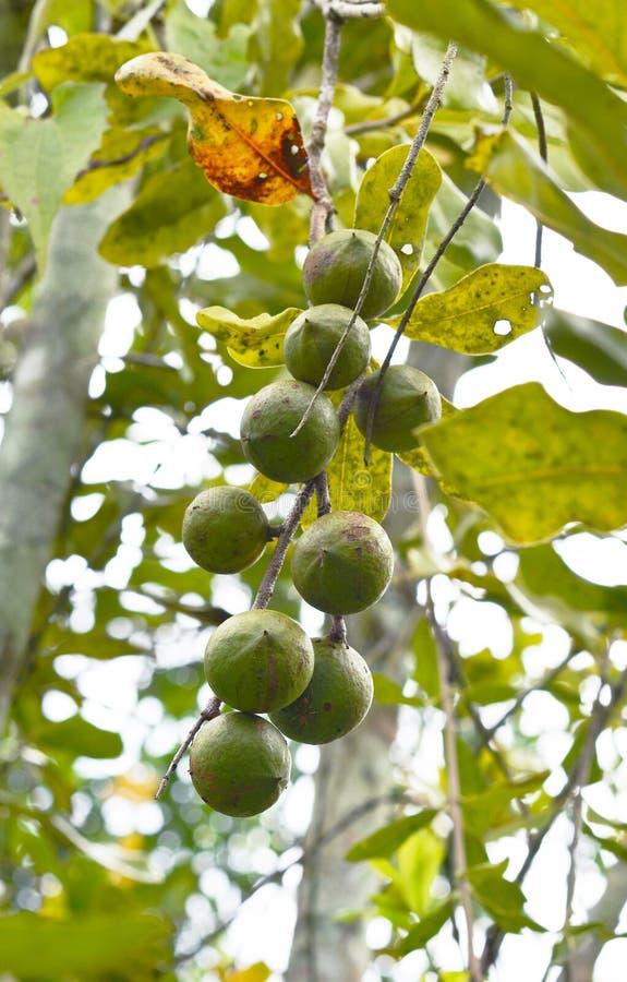 Macadamia nuts hanging on tree stock photography