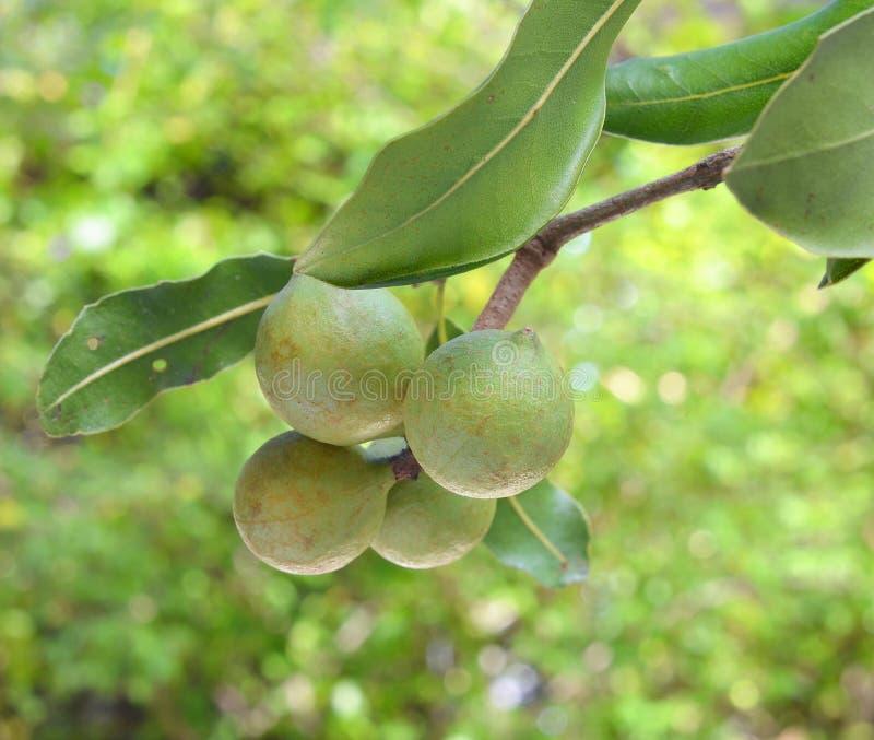Macadamia nuts hanging on tree stock photos