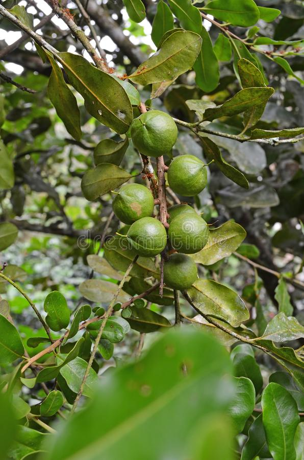 Macadamia nuts hanging on tree royalty free stock photography