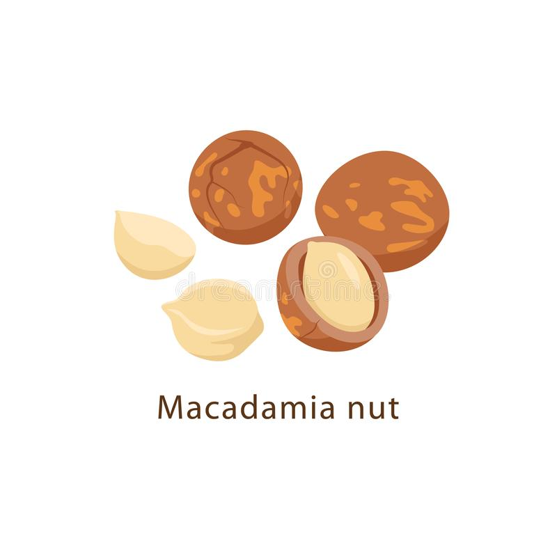 Macadamia nuts isolated on white background vector illustration in flat design. stock illustration