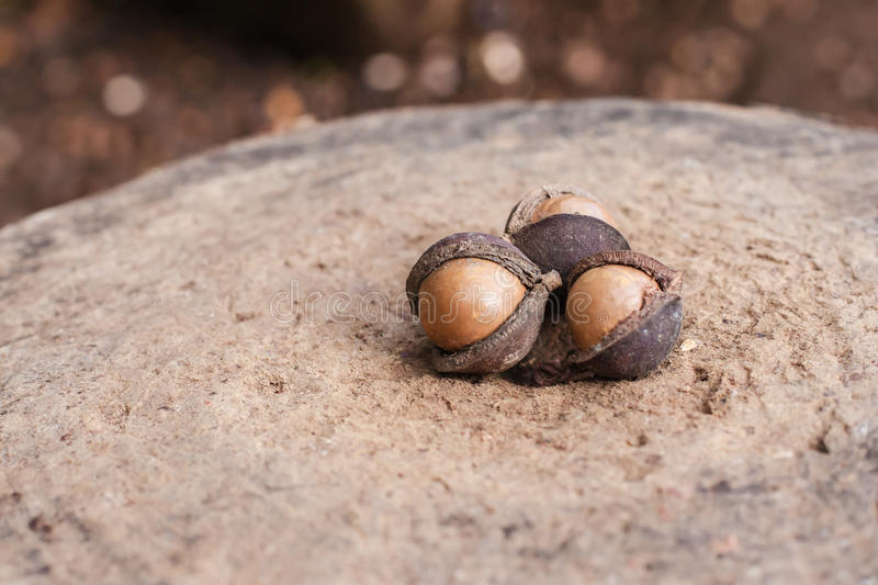 Download Macadamia nuts stock image. Image of dried, drop, fresh - 35654101