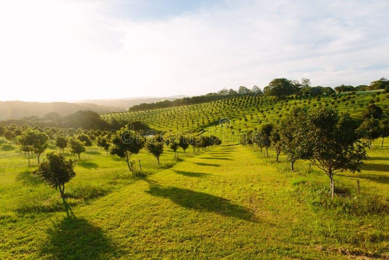 Macadamia orchard. At Byron Bay, Bangalow, NSW, Australia stock images
