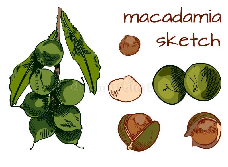 Macadamia painting. VECTOR sketch. Colored sketch. royalty free illustration