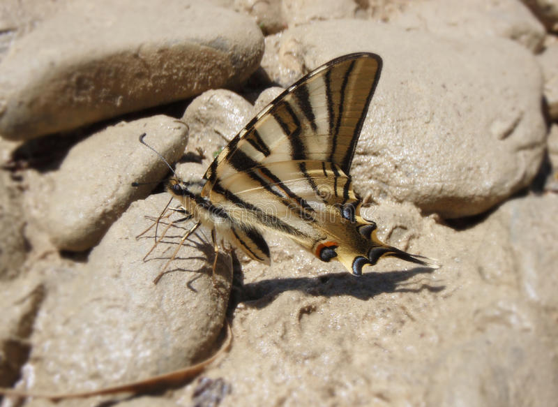 Macaon butterfly royalty free stock image