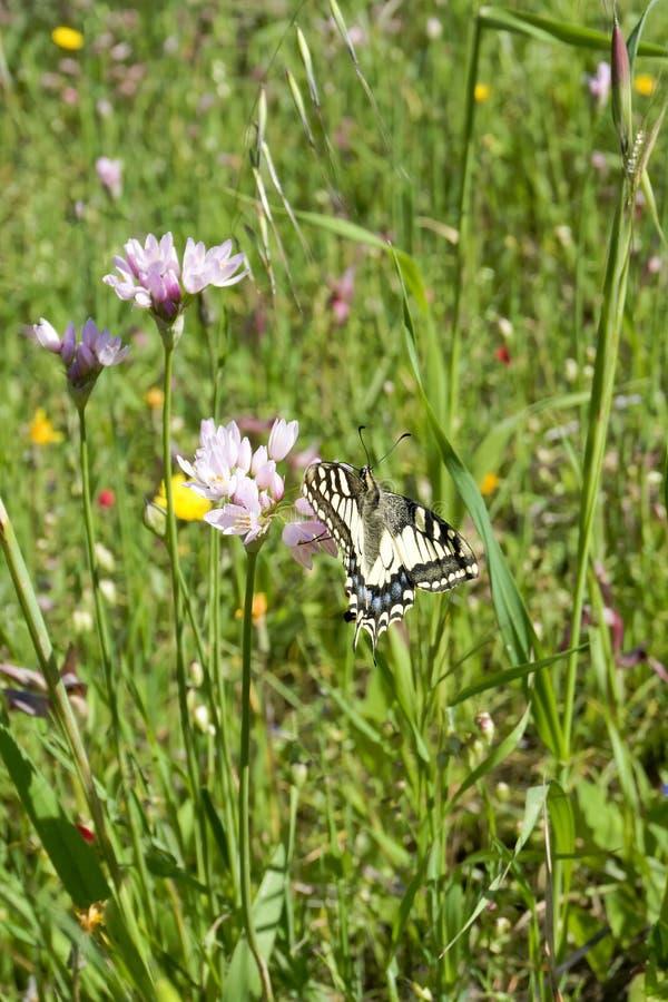 Macaone-Schmetterling, der auf einer Blume der wilden Zwiebel stillsteht Sardinien, M lizenzfreies stockbild
