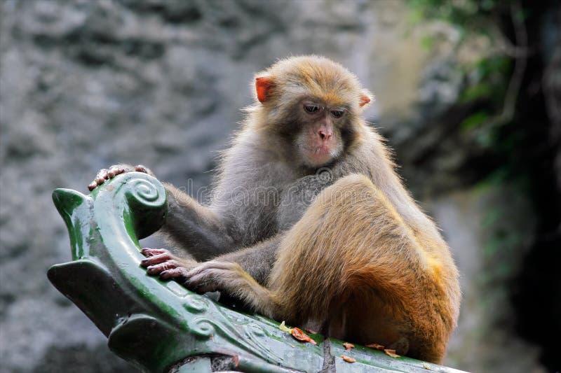 macaque ο ρήσος μακάκος πιθήκων στοκ φωτογραφία