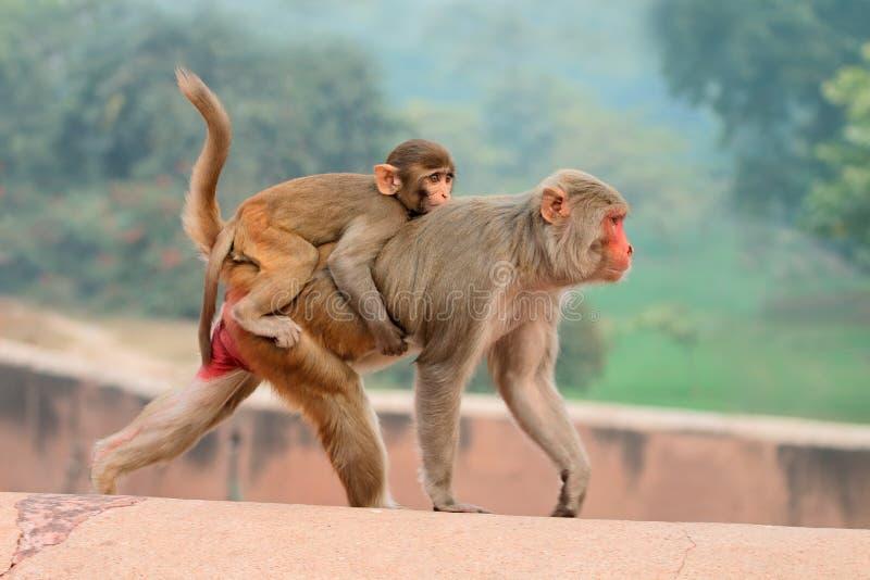 macaque ο ρήσος μακάκος πιθήκων στοκ εικόνα