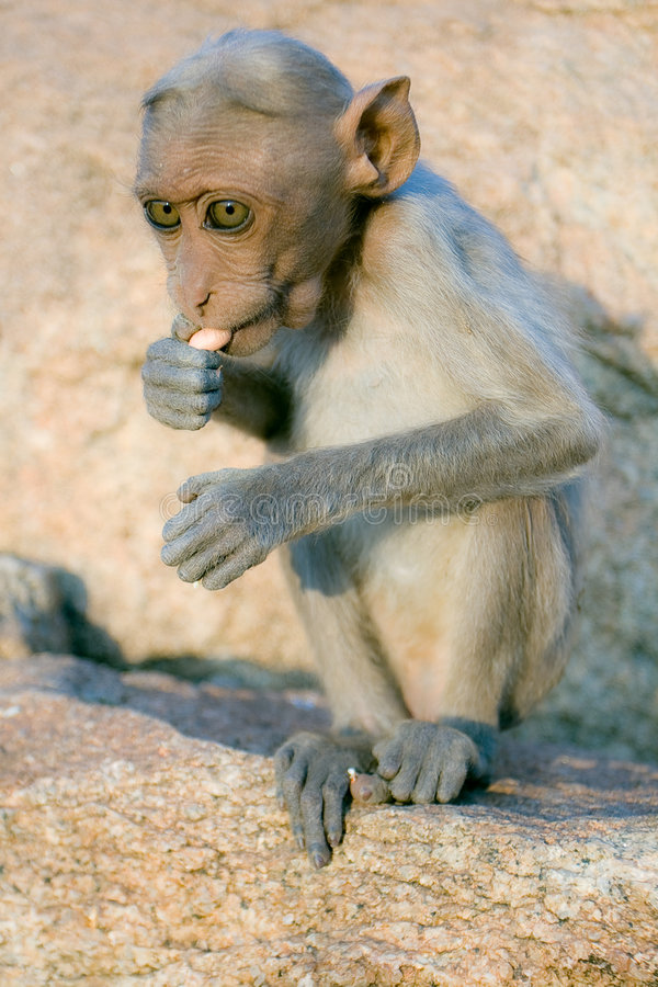 macaque ο ρήσος μακάκος στοκ φωτογραφία