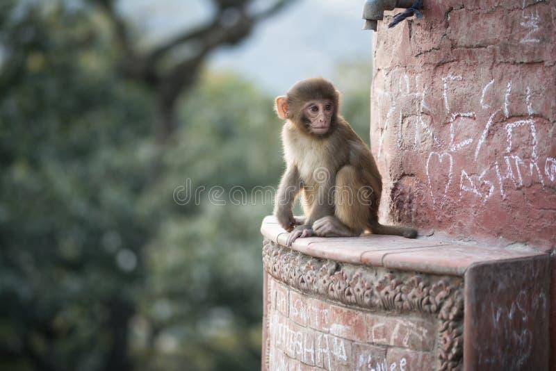 Macaque στο ηλιοβασίλεμα στο ναό πιθήκων, Swayambhunath, Κατμαντού στοκ φωτογραφία με δικαίωμα ελεύθερης χρήσης