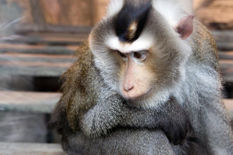 macaque χοίρος που παρακολουθείται στοκ φωτογραφία με δικαίωμα ελεύθερης χρήσης