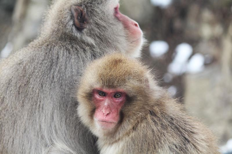 macaque младенца стоковые фото