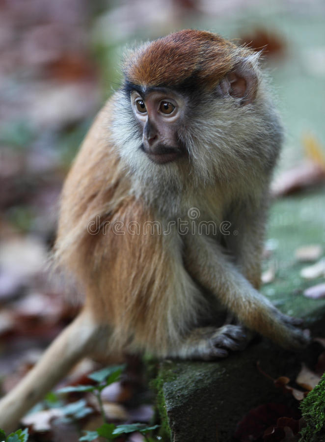 Download Macaque Stock Images - Image: 12082674