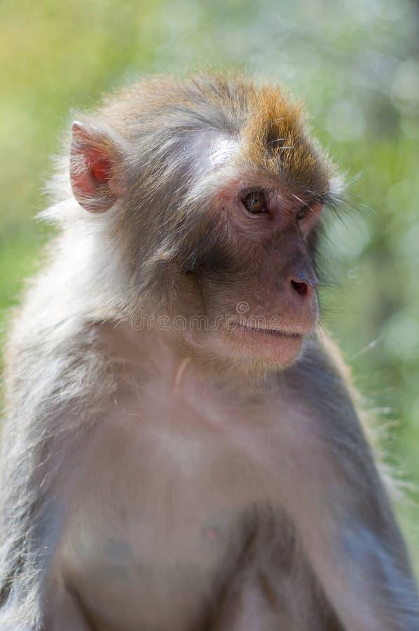 Macaque Fotografie Stock