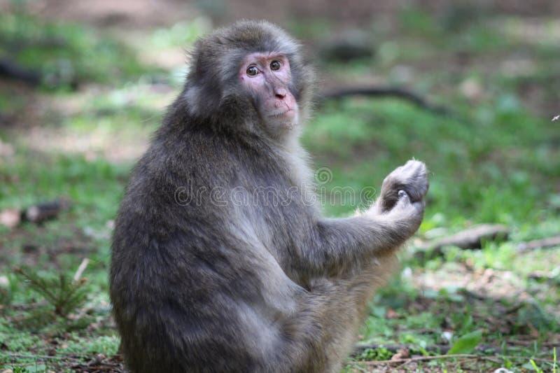 macaque στοκ εικόνες