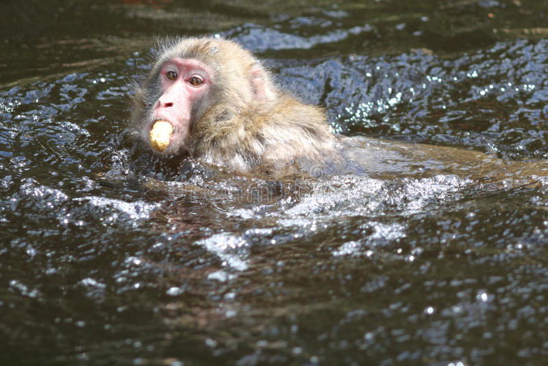 Download Macaque Royalty Free Stock Photo - Image: 14319995