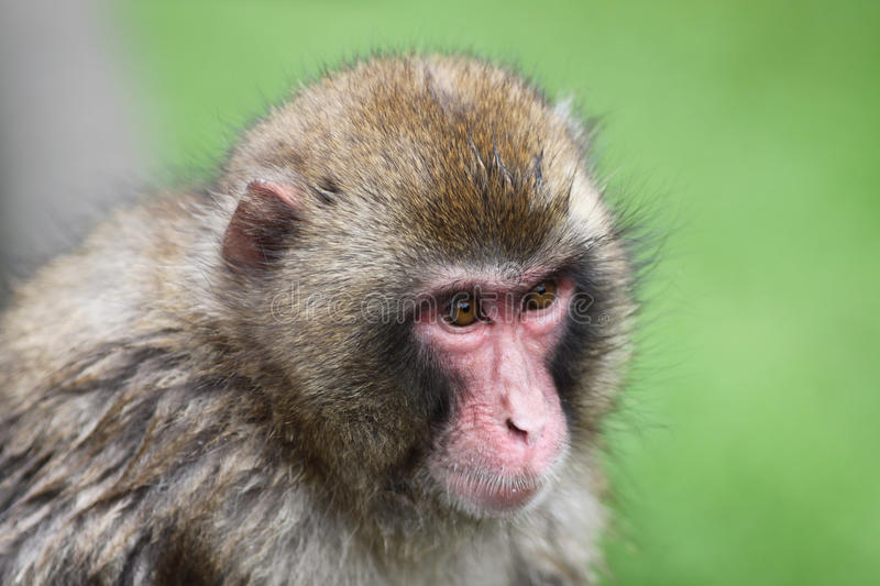 Download Macaque Royalty Free Stock Image - Image: 14320646
