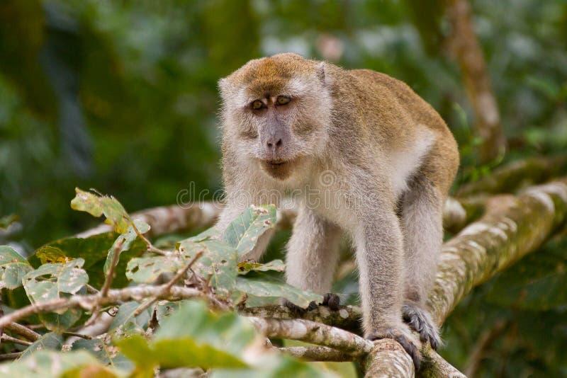 Macaque stockbild