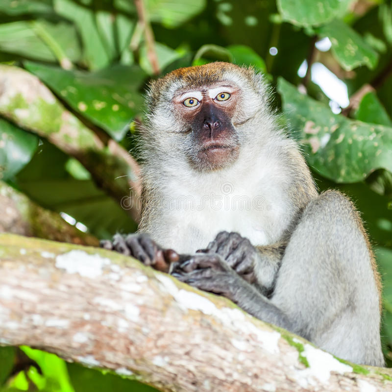 Download Macaque stock image. Image of animal, indonesia, adorable - 26474885