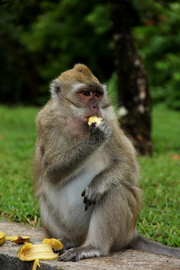 macaque imagens de stock royalty free