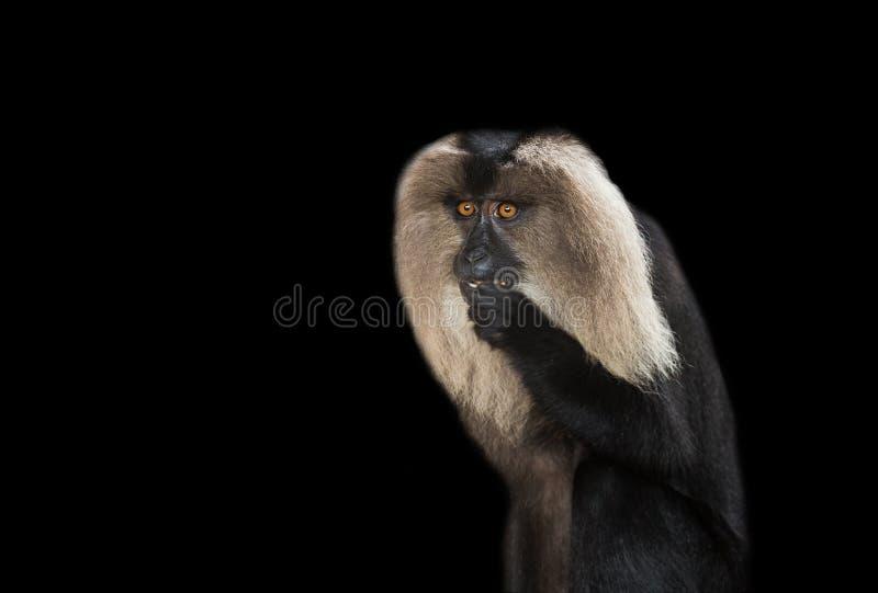 macaque fotografia de stock