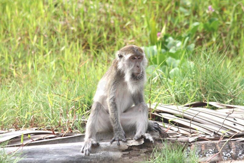 macaque arkivbilder