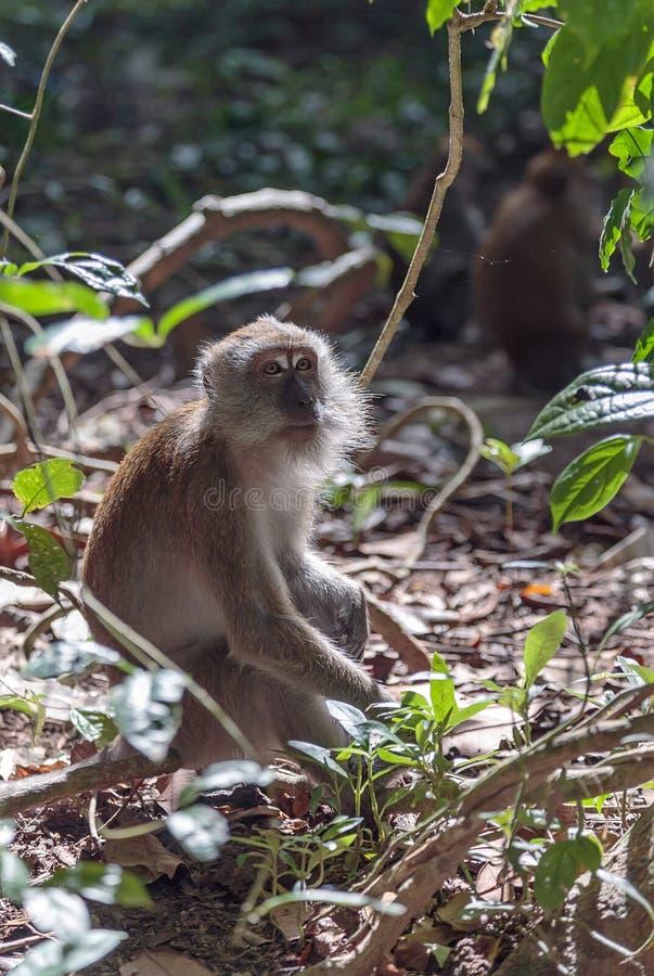macaque fotografia stock libera da diritti
